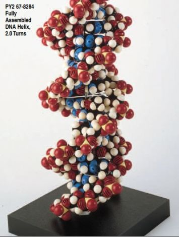 CPK Atomic Models, Assembled Nucleic Acids Helices
